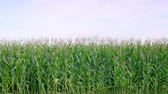 em movimento : View of corn field Stock Footage