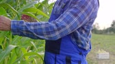 front view : Farmer controlling his corn crop Stock Footage