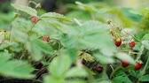 gerte : Wild strawberries in the garden Stock Footage