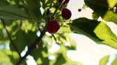 baga : Red and sweet cherries on a branch Stock Footage