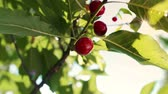 juni : Sweet and ripe cherries on a branch