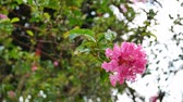 lagerstroemia : Beautiful blossom Crape Myrtle flower.