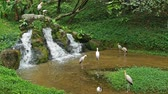 garça : Group of Yellow-billed storks can seen standing at the stream.