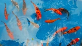 золотая рыбка : Colorful Koi fishes are swimming in the pond.