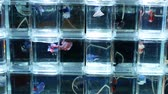 ヒレ : Colorful Siamese fighting fish selling in the night market. 動画素材