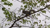 Squirrel Gathering Nuts on Branch Стоковые видеозаписи