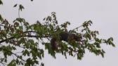 Squirrel Gathering Nuts on Branch Cloudy Day Стоковые видеозаписи