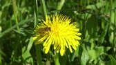 pampeliška : Bee on dandelion collects pollen