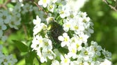 besouro : Rose chafer feeding on white blossoms Vídeos