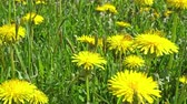 pampeliška : Honeybee is picking dandelion flower nectar