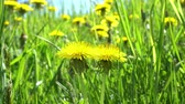 bylinný : Blooming dandelions close up view