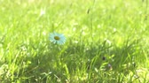 apteka : Daisy flower in a meadow 4K