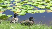 кряква : Wild ducks on the pond bank 4K