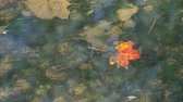 Autumn leaf floats under clear water flowing 4K