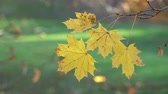 Maple in the autumn forest in the rays of the setting sun 4K