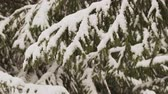 floco : Snow falls from fir tree branch in a forest 4K