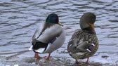 кряква : Couple of Mallard ducks on the frozen river