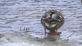 Female Mallard duck in the cold water Stockvideo