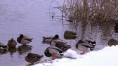 On the river in winter, wild ducks