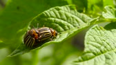 colorado potato beetle : Two Colorado Striped Beetles - Leptinotarsa Decemlineata.