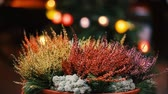 ling : Bush Of Yellow And Red Colors Calluna Plants In Pots In Garden