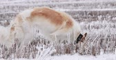 lebre : Russian Wolfhound Hunting Sighthound Russkaya Psovaya Borzaya Do