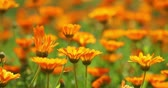 canteiro de flores : Orange Flowers Of Calendula Officinalis. Medicinal Plant Stock Footage