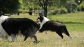 овчарка : Funny Adult And Puppy Shetland Sheepdog, Sheltie, Collie Running Outdoor In Green Grass. Summer Sunny Day. Playful Pet Outdoors. Slow Motion, Slo-Mo. Стоковые видеозаписи