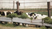 vacas : Young Calves Eat Green Food On Farm