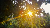 deciduous : Summer Sun Shining Through Canopy Of Tree. Sunlight In Deciduous Forest, Summer Nature In Sunrise Time