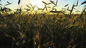 juni : Sun Shining Through Young Green Wheat In Countryside Rural Field. Farmland Plantation In June Month. Agricultural Landscape In Evening During Sunset Stock Footage