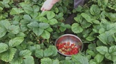 fragaria : Man Picking Ripe Strawberries In Metallic Bowl During Harvest Time In Garden. Strawberry In Fruit Garden. Bowl Filled With Fresh Red Strawberries