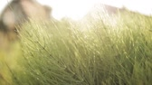 sunbeams : Summer Green Grass In Sunlight Stock Footage