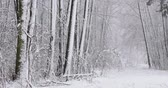 belarus : Beautiful Winter Snowy Deciduous Forest During Snowy Snowstorm Day