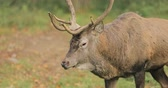 Belarus. Male European Red Deer Or Cervus Elaphus Walking In Autumn Forest. Red Deer Inhabits Most Of Europe, Caucasus Mountains Region, Parts Of Asia