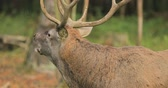řev : Belarus. Male European Red Deer Or Cervus Elaphus Have A Roar During Rut. Red Deer Inhabits Most Of Europe, Caucasus Mountains Region, Parts Of Asia. Male Deer Roaring In Autumn Forest Dostupné videozáznamy