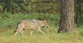 Belarus. Forest Eurasian Wolf - Canis Lupus Running In Autumn Forest Wideo