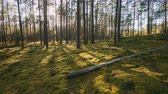 Belarus. Beautiful Sunset Sun Sunshine In Sunny Summer Coniferous Forest. Sunlight Sunrays Shine Through Woods In Forest Landscape