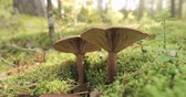houby : Paxillus Involutus In Autumn Forest In Belarus. Brown Roll-rim, Common Roll-rim, Or Poison Pax, Is A Basidiomycete Fungus