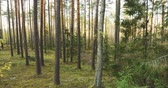 лес : Beautiful Autumn Coniferous Forest. Pine Woods In Forest Landscape