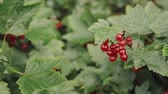 çalı : Redcurrant Or Red Currant Ribes Rubrum Branch. Growing Organic Berries In Garden. Ripe Currant Berries In Fruit Garden