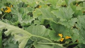ovaio : Plants Of Zucchini Or Courgette In Summer Garden. Flowering Plants