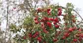 colheita : Branch Hung With Ripe Red Apples In Autumn Season