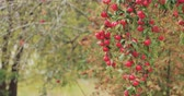 yummy : Branch Hung With Ripe Red Apples In Autumn Season