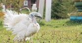 kümes hayvanları : White Domestic Turkey - Meleagris Gallopavo Walking In Country Yard