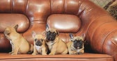 бульдог : Group Of Young French Bulldog Dog Puppy Puppies Sitting Posing On Red Sofa Indoor. Funny Dog Babies
