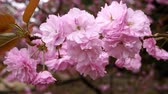 sakura flower tree , cherry blossom closeup
