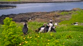 escócia : Carefree puffins on Lunga Island, Treshnish Isles, west of Isle of Mull, Scotland. Slow motion handheld shot of curious seabirds standing on the green grass. Sea is visible in the background.