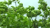 бурный : Strong wind blowing a walnut tree