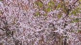 Spring Tree Blooming Stock Footage
